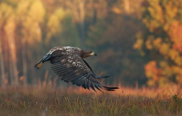 Картинка осень, трава, природа, птица, хищник, полёт, орёл, Łukasz Sokół