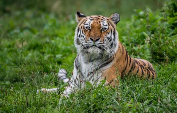 Картинка трава, взгляд, тигр, портрет, хищник, дикая кошка