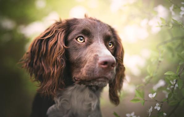 Картинка глаза, взгляд, морда, листья, свет, цветы, ветки, фон, портрет, собака, весна, сад, светлый фон, цветение, ...