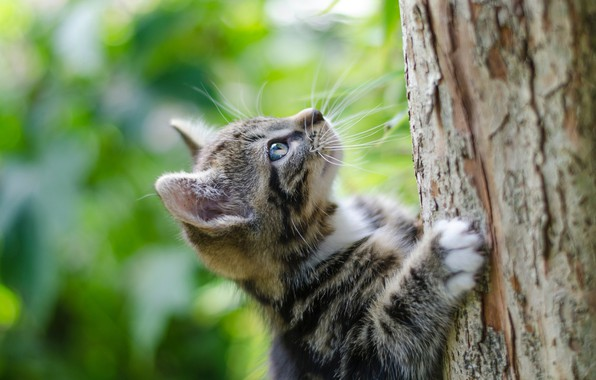 Картинка ствол дерева, лезет, полосатый котёнок