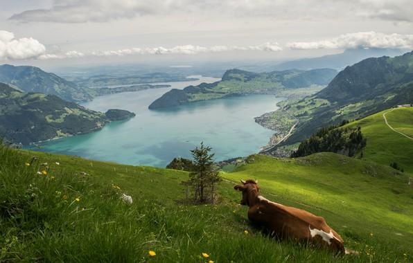 Картинка зелень, лето, трава, облака, горы, поза, озеро, холмы, отдых, спина, высота, корова, Швейцария, склон, Альпы, …