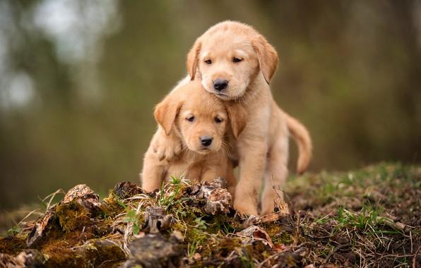 Картинка собаки, трава, взгляд, природа, фон, мох, лапки, щенки, пенек, пара, щенок, малыши, парочка, сидит, лабрадор, …