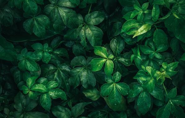 Картинка листья, капли, макро, природа, зеленый, дождя