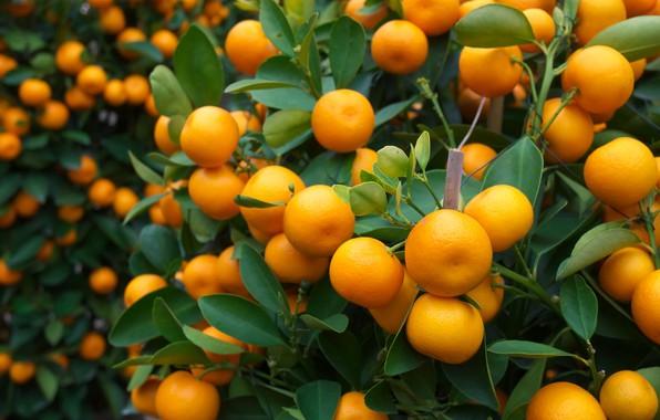 Картинка апельсины, фрукты, fresh, листики, leaves, orange, fruits