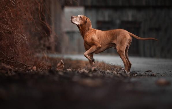 Картинка дорога, осень, взгляд, морда, листья, ветки, поза, темный фон, собака, лапы, двор, стоит, коричневый, пёс, …