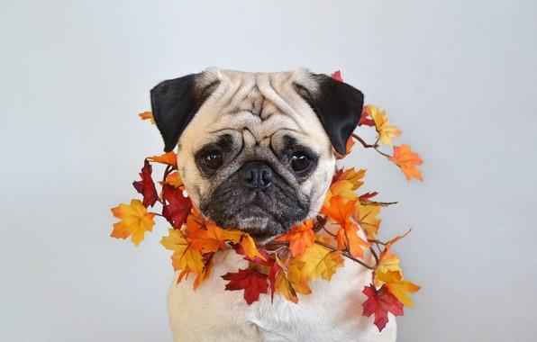 Картинка фото, Собака, Осень, Листья, Морда, Клён, Мопс