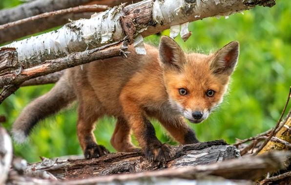 Картинка ветки, природа, зеленый, фон, дерево, маленький, мордочка, лиса, рыжая, кора, лисица, лисенок, лисёнок, малютка