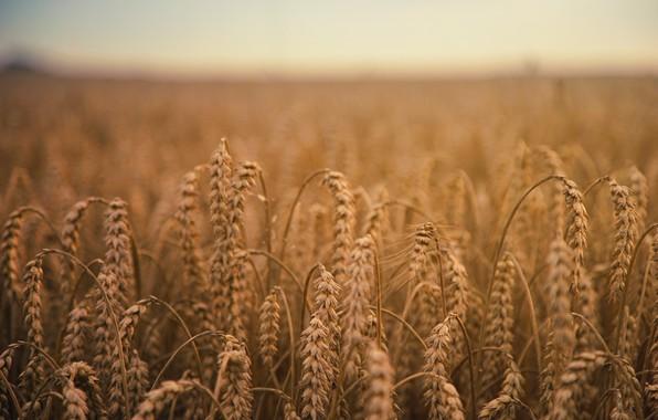 Картинка Природа, Поле, Ферма, Пшеница, Колоски, Field, Farm, Wheat, Урожай, Crop, Grains, Depth Of Field, Колосок, …