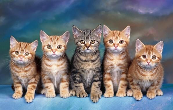 Картинка взгляд, кошки, синий, котенок, серый, фон, голубой, лапа, котята, команда, котёнок, малыши, рыжие, компания, полосатый, …