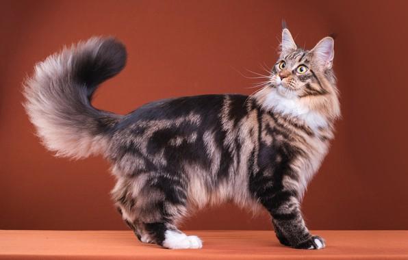 Картинка кошка, кот, взгляд, поза, серый, удивление, пушистый, мордочка, хвост, милый, окрас, стоит, полосатый, порода, коричневый ...