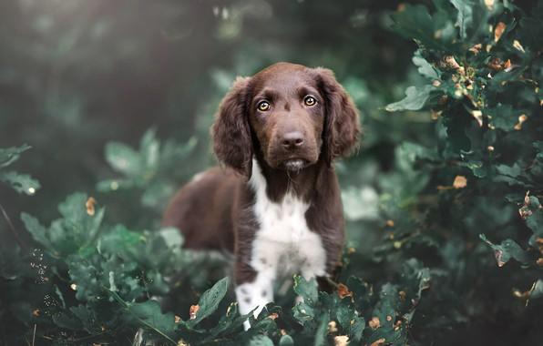 Картинка лето, взгляд, листья, природа, заросли, листва, портрет, собака, малыш, щенок, коричневый, кусты, зеленый фон, спаниель, …