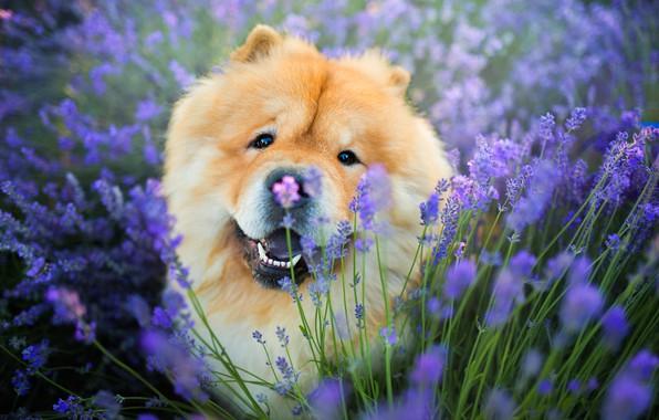Картинка поле, язык, взгляд, морда, цветы, поза, портрет, собака, рыжая, сидит, лаванда, милаха, сиреневый фон, чау-чау, …