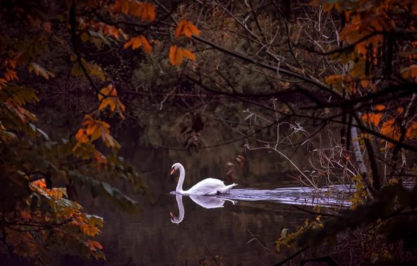 Картинка осень, ветки, река, птица, лебедь