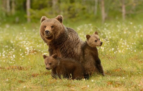 Картинка зелень, лес, лето, трава, взгляд, морда, природа, поза, уют, поляна, медведь, медведи, три, медвежонок, малыши, …