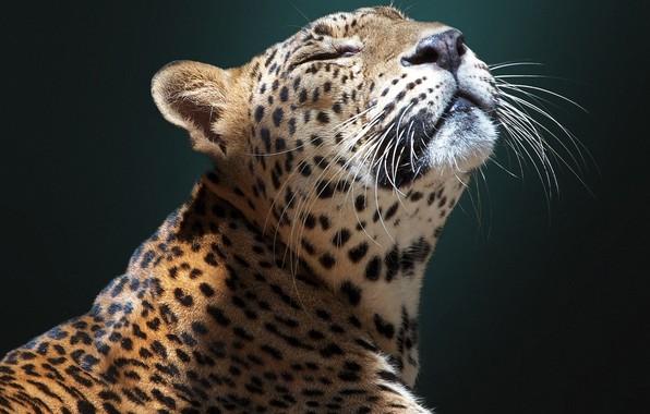 Картинка морда, фон, ягуар, дикая кошка