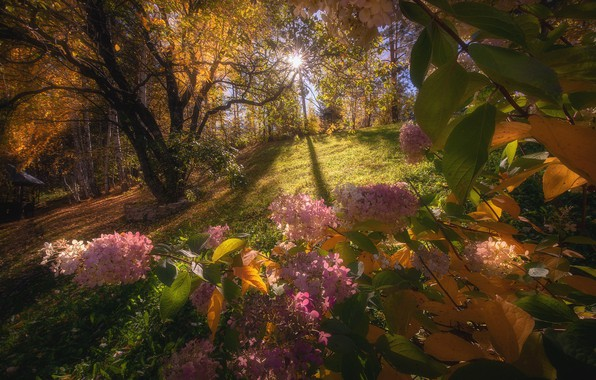 Картинка осень, лес, солнце, свет, деревья, цветы, ветки, природа, парк, поляна, листва, розовые, кусты, желтая, соцветия, …
