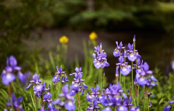 Картинка цветы, природа, берег, ирисы, водоем, много, сиреневые