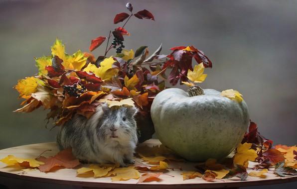 Картинка грусть, осень, животные, листья, морская свинка