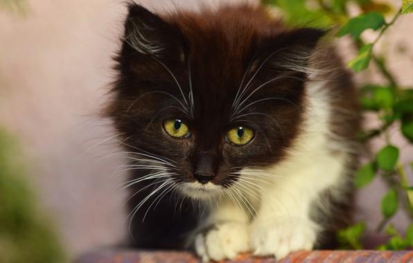 Картинка кошка, взгляд, листья, поза, котенок, фон, черно-белый, портрет, пушистый, котёнок, мордашка, сидит, зеленые глаза
