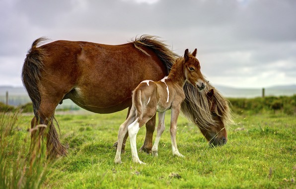 Картинка поле, небо, трава, пасмурно, конь, лошадь, кони, малыш, лошади, пастбище, пони, коричневые, детеныш, два, жеребенок, …