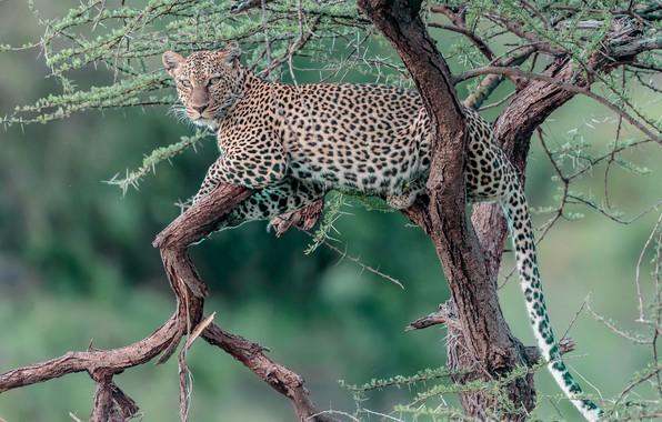 Картинка дерево, отдых, леопард, дикая кошка, на дереве