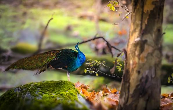 Картинка осень, листья, природа, дерево, птица, камень, мох, павлин, Thai Phung