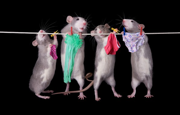 Картинка поза, белье, веревка, труселя, крысы, носки, колготки, трусы, черный фон, мыши, нижнее, прищепки, квартет, стирка, ...