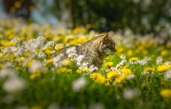 Картинка трава, кот, цветы, боке