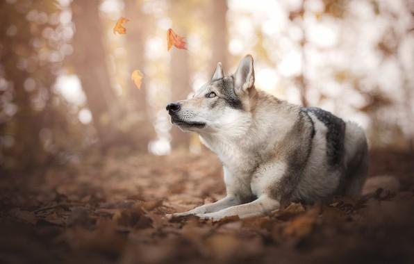 Картинка осень, лес, взгляд, морда, листья, свет, природа, поза, парк, фон, настроение, листва, волк, собака, лапы, …