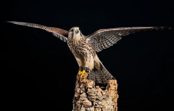 Картинка птица, пень, крылья, тёмный фон, пустельга