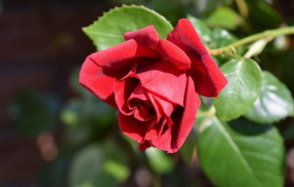 Картинка цветок, листья, свет, фон, роза, сад, бутон, красная, алая, боке