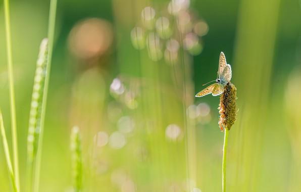 Картинка зелень, лето, трава, макро, свет, зеленый, фон, бабочка, растение, размытие, стебель, насекомое, боке, размытый, былинки