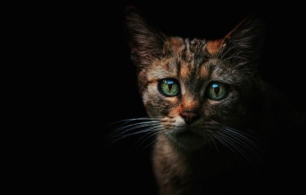 Картинка кошка, глаза, взгляд, морда, котенок, блеск, котик, зеленые, черный фон, котёнок, полосатый, выражение, дикий, пятнистый, ...