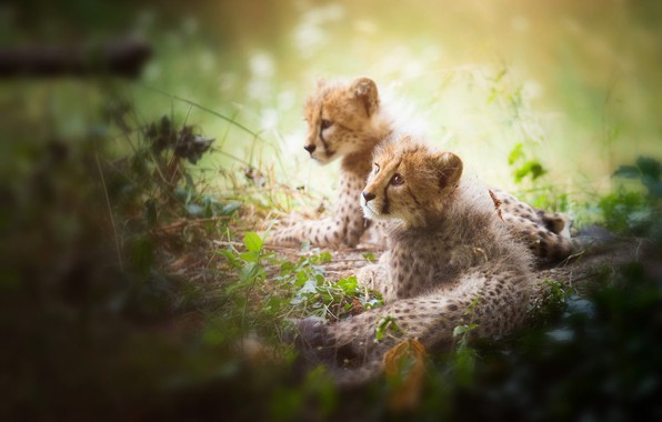 Картинка взгляд, свет, кошки, природа, поза, растительность, пара, котята, парочка, дуэт, дикие, два, лежат, боке, размытый …