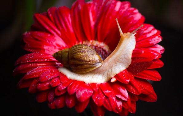 Картинка цветок, макро, фон, улитка, лепестки, гербера