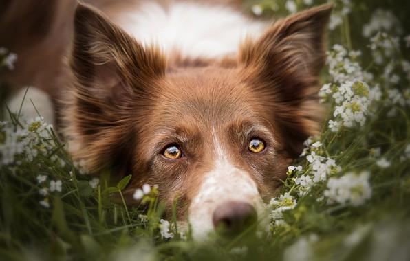 Картинка лето, трава, глаза, взгляд, морда, цветы, крупный план, природа, портрет, собака, желтые, луг, лежит, рыжая, …