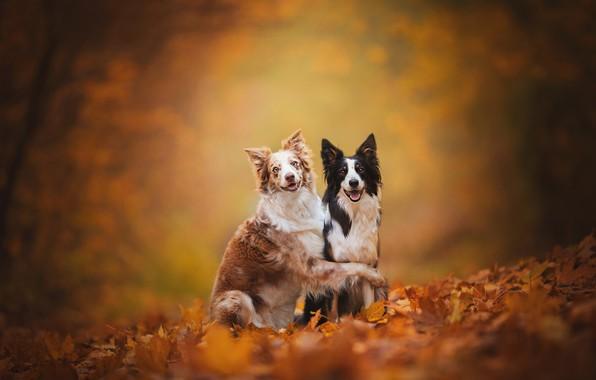 Картинка осень, собаки, листья, фон, листва, парочка, друзья, две собаки, Бордер-колли