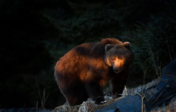 Картинка лес, взгляд, морда, свет, ветки, природа, поза, темнота, темный фон, камни, вечер, медведь, мишка, хвоя, …