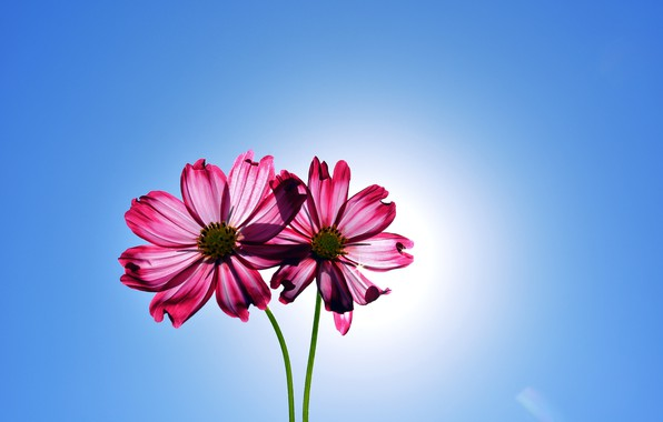 Картинка цветы, flowers, космея