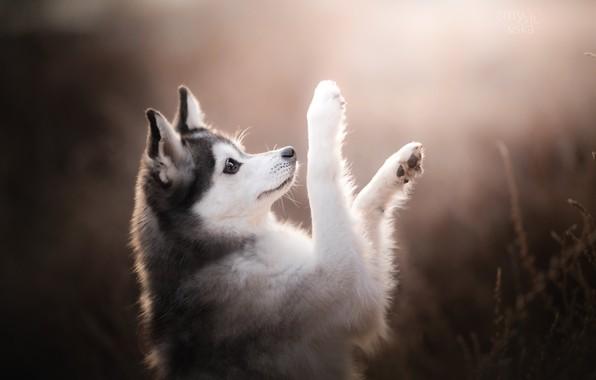 Картинка собака, лапы, боке, Аляскинский кли-кай