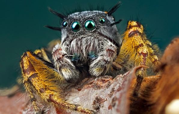 Картинка глаза, взгляд, макро, желтый, поза, серый, фон, листок, лапки, паук, мохнатый, бирюзовый, прыгун, джампер, паучок, …