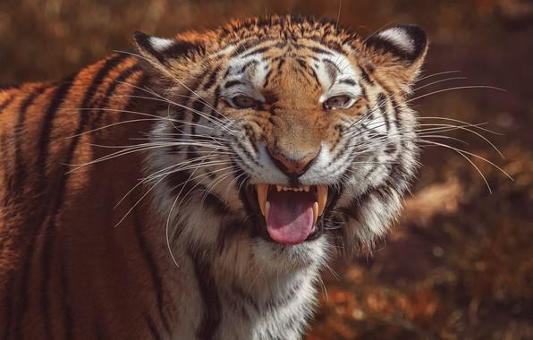 Картинка язык, взгляд, морда, тигр, фон, портрет, пасть, клыки, оскал, дикая кошка