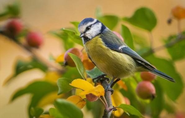 Картинка листья, птица, ветка, синица, яблочки, лазоревка, размыт