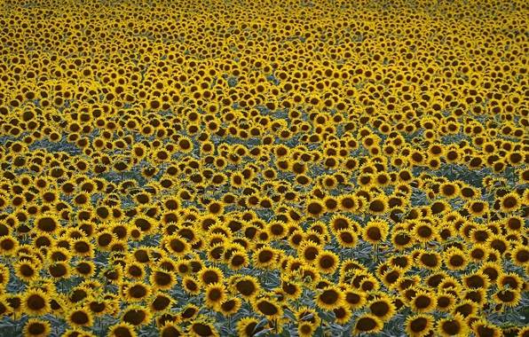 Картинка field, sunflowers, agriculture