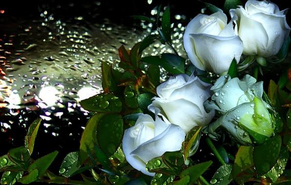 Картинка капли, роса, дождь, Розы, белые