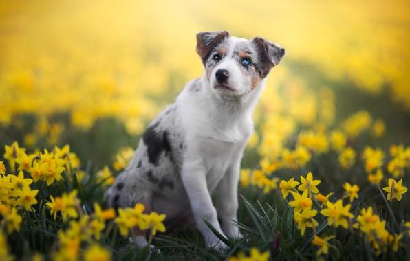 Картинка белый, взгляд, цветы, природа, поза, фон, поляна, собака, весна, лапы, желтые, сад, щенок, сидит, клумба, …