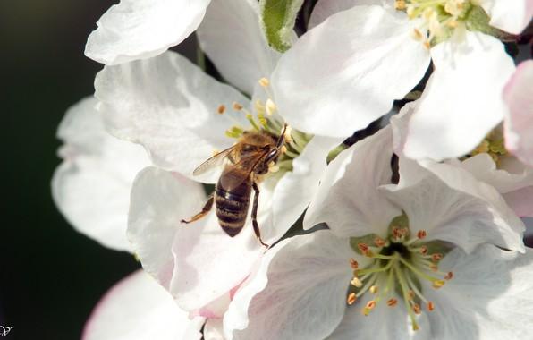 Картинка цветок, яблуння, Бджола