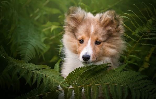 Картинка взгляд, морда, листья, природа, зеленый, фон, портрет, собака, малыш, щенок, папоротник, колли