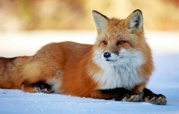 Картинка зима, взгляд, морда, снег, природа, фон, лапы, лиса, красавица, лежит, рыжая, лисица