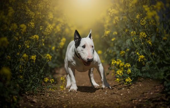 Картинка поле, лето, морда, свет, цветы, природа, поза, собака, лапы, желтые, прогулка, тропинка, бультерьер, рапс, рапсовое …